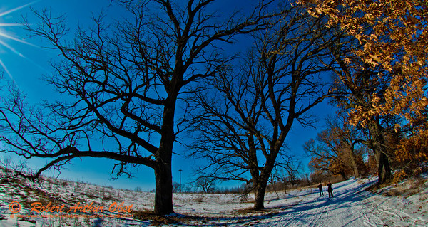 Cross country skiing under brillant blue skies past oak trees on Morningside Trail within Governor Nelson State Park (USA WI Waunakee; Obst FAV Photos 2013 Nikon D800 Sports Fun Extraordinaire Action Outdoors Image 7723)