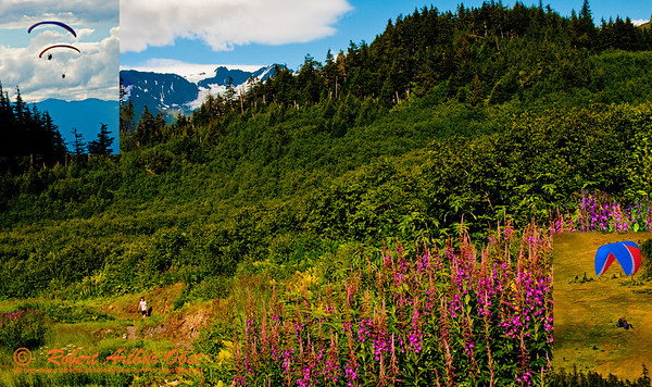 Hiker's on the North Face Trail can view colorful fireweed and mountains and parasailors over the forested slopes of Mount Alyeska near the Alyeska Resot (USA Alaska Girdwood)
