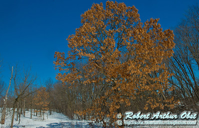 Perfect crystalline blue skies umbrella snowshoers as they pass a majestic oak or Quercus within snowy Owen Conservation Park during the last day of winter (USA WI Madison; Obst FAV Photos 2013 Sports Fun Extraordinaire D800 Image 8283)
