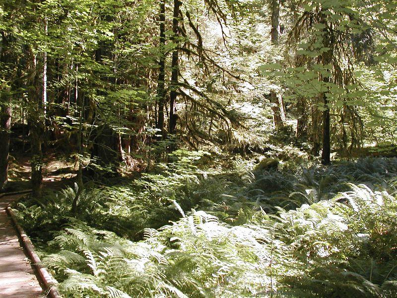 Aug. 17. MINI-RAIN FOREST NEAR SOL DUC