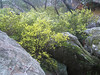 Wattle in spring just below the Ravine