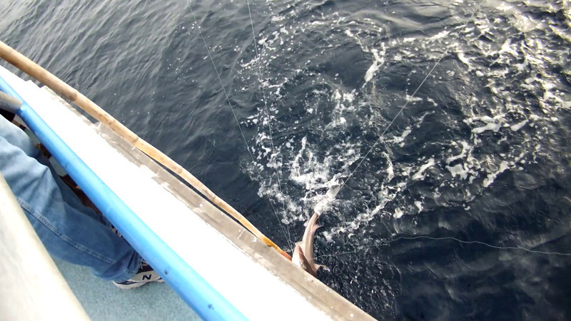 A Dogfish Shark catch and release