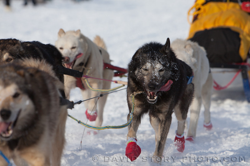 Frost lines the face of one of Mitch Seavey's dogs.