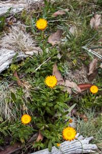 Everlasting daisy, Mount Buffalo