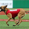 Navi races across the field at Kokomo Municipal Stadium back to his owner and trainer Chris Altherr of Sit Means Sit, with a bat in his mouth on June 19. It is Navi's, a belgian malinois, first year as the Kokomo Jackrabbits' bat dog.<br /> Kelly Lafferty Gerber | Kokomo Tribune