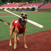 Navi, a belgian malinois, returns to the third base dugout, bat in tow, after retrieving it from home plate after a Jackrabbits hit at a home game on June 19. This is Navi's first year as the Kokomo Jackrabbits' bat dog. He is almost 2 years old and is Chris and Breanne Altherr's dog they've trained through their Sit Means Sit Kokomo franchise.<br /> Kelly Lafferty Gerber | Kokomo Tribune