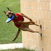 Holding a frisbee in his mouth, Navi, a belgian malinois, becomes a superdog as he leaps off the side of the wall at the Kokomo Municipal Stadium on June 19. This is Navi's first year as the Kokomo Jackrabbits' bat dog. He is almost 2 years old and is Chris and Breanne Altherr's dog they've trained through their Sit Means Sit Kokomo franchise.<br /> Kelly Lafferty Gerber | Kokomo Tribune