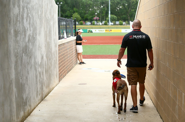 After cooling off in a kiddie pool of water to beat the heat, Navi, a belgian malinois, enters the Kokomo Municipal Stadium on June 19 with owner and trainer Chris Altherr, of Sit Means Sit. Navi, who is nearly 2 years old, is the Kokomo Jackrabbits' bat dog.<br /> Kelly Lafferty Gerber   Kokomo Tribune