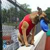 Navi, a belgian malinois, enjoys his first year as the Kokomo Jackrabbits' bat dog at a home baseball game on June 19, 2018. He is almost 2 years old and is Chris and Breanne Altherr's dog they've trained through their Sit Means Sit Kokomo franchise.<br /> Kelly Lafferty Gerber | Kokomo Tribune