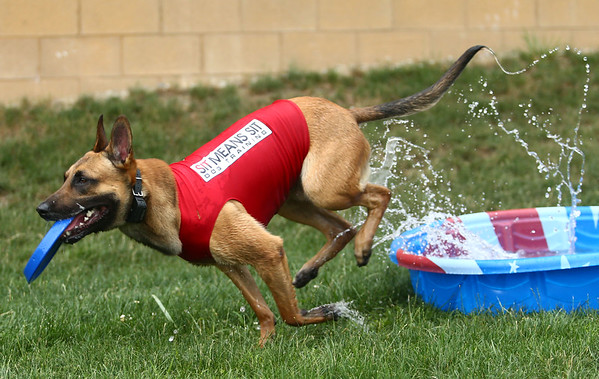 After hearing a command from owner and trainer Chris Altherr, Navi, a belgian malinois, takes off from his kiddie pool, leaving splashes of water in his wake at the Kokomo Municipal Stadium on June 19. Navi is enjoying his first year as the Kokomo Jackrabbits' bat dog. <br /> Kelly Lafferty Gerber | Kokomo Tribune