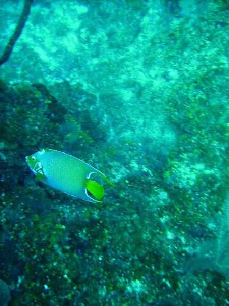 DIGITAL CAMERA<br /> A Queen Angelfish, one of the most beautiful citizens of the coral reef...