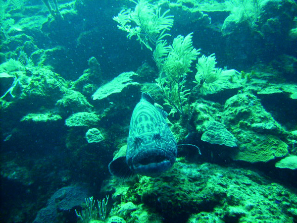DIGITAL CAMERA<br /> What a 300-pound grouper looks like when it is coming straight for your gut!