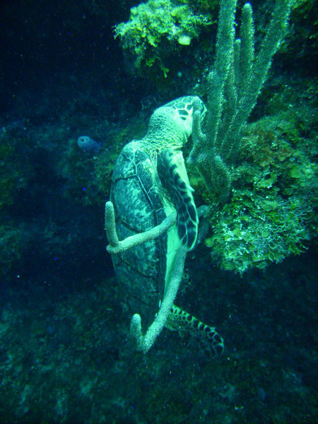 DIGITAL CAMERA<br /> A sea turtle munches placidly on some algae totally unconcerned with the bevy of scuba divers jockeying to take her photograph