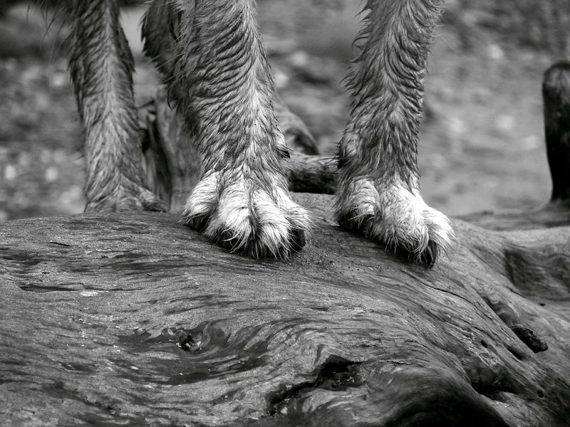 muddy paws on water logged tree