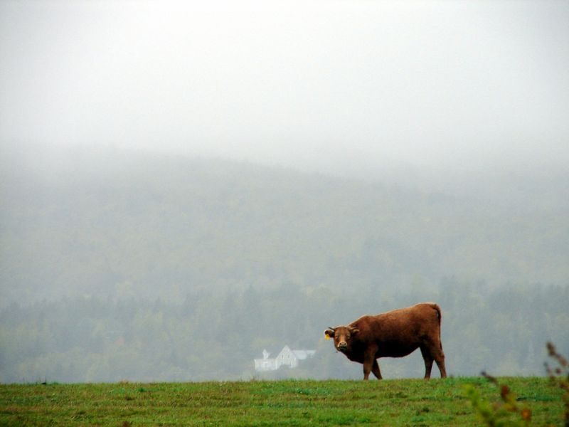 field. cow. house. drizzle.