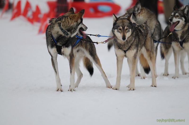 Huskies_Givrine Hiver 2009_0001