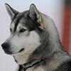 Huskies_Givrine Hiver 2009_0018