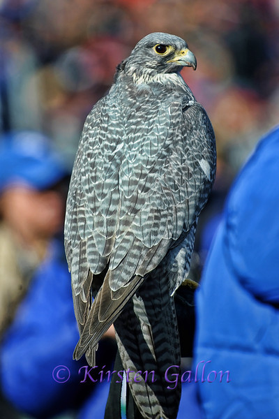 The Air Force Falcon.