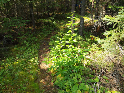 A well maintained trail to US Forest Service standards, on the other hand, offers enjoyment of the wilds like it was meant to be.  Here is west portion of the Brule Lake Trail.   Note that path is visible, yet not worn to rock.  A path cleared like this offer more satisfying and rewarding visual experience.