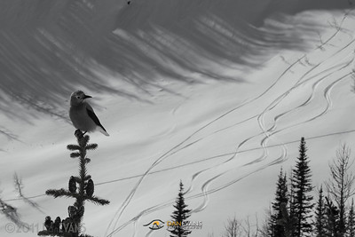 Skiing with an Audience