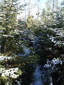 """Balsam fir is closing in here and creates a """"tunnel"""" vision.   Opportunity for serious nipping here!"""