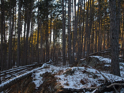 After passing through several miles of carnage, we came across several acres of untouched red pine forest.  What a treat!