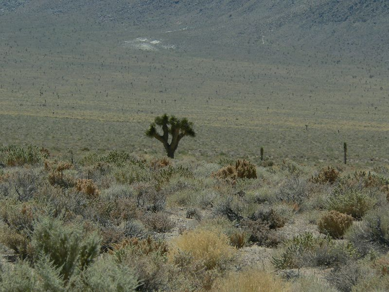 Joshua trees. The only witnesses to our suffering.