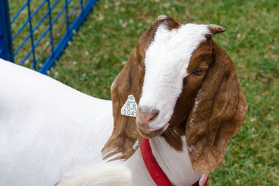 Goats too.