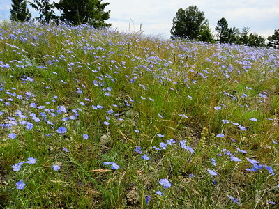 Wild Blue Flax in its own little defined patch.