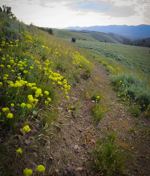 Wild Buckwheat, little balls of yellow light the way.