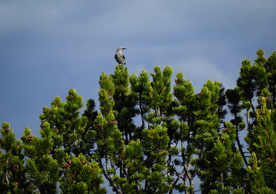 Clark's Nutcracker, many of them in these trees up here talking.