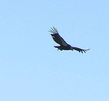 California Condor flying past launch, checking us out before he joined the gaggle.  You can see his transmitter antana.