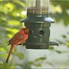 Male Cardinal August