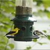 Goldfinch_Chickadee