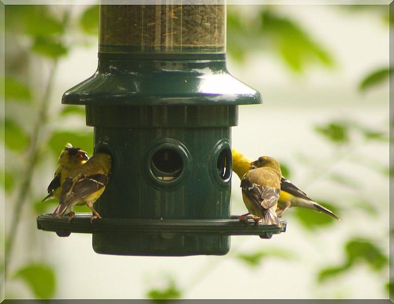 Four Finches & Feeder