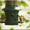 Four Finches & Feeder