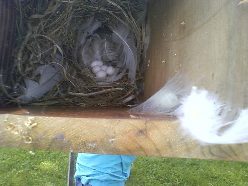 Cedar 5 Eggs June 14th