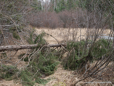 Here is a fresh black spruce tree fall.  I will limb braches before trail clearing crew cut the tree fall later this spring.