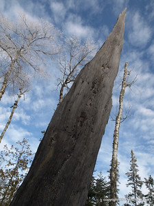 What remains of white pine that fell victim to the 1999 July storm.