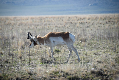 A really close shot of a pronghorn antelope from the car near the start.