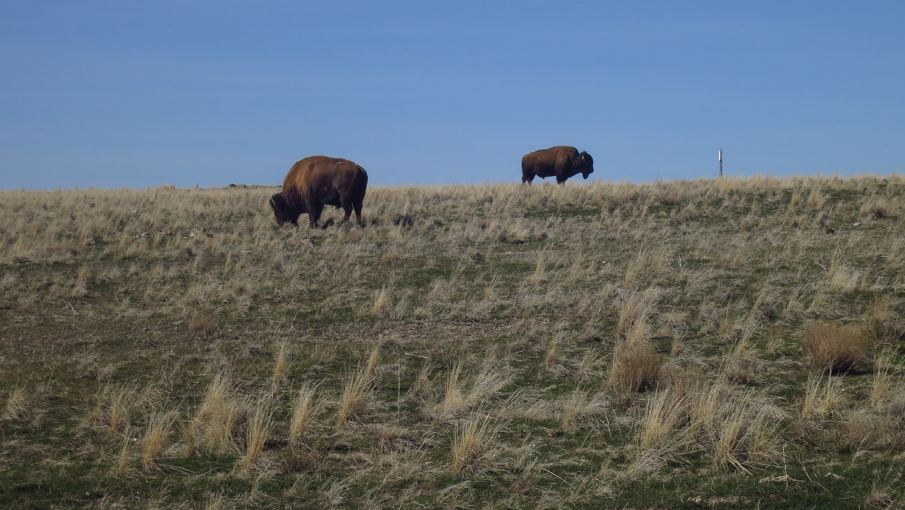Calm bison paying no mind as I head back out.