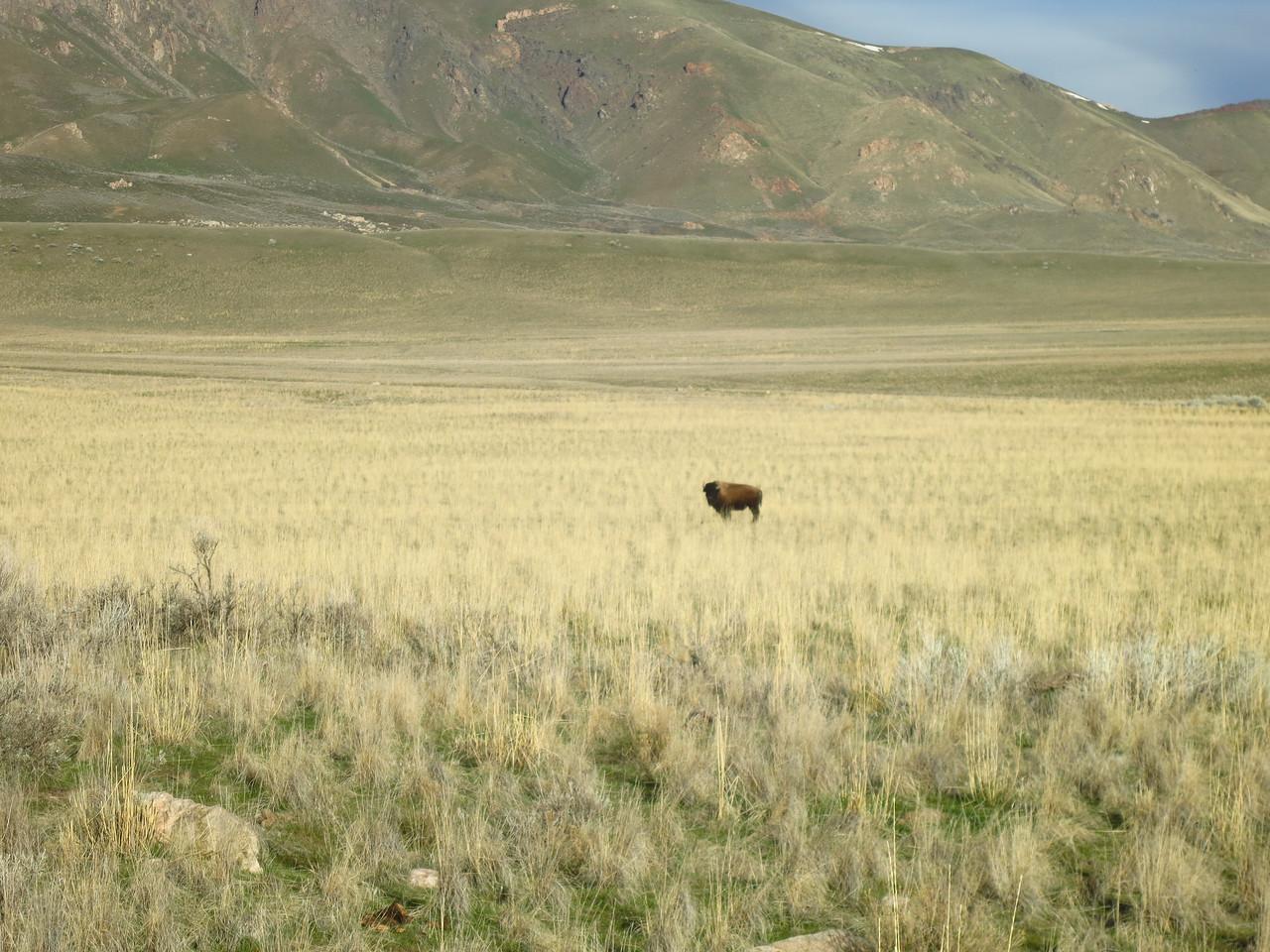 Morning bison peers my way.