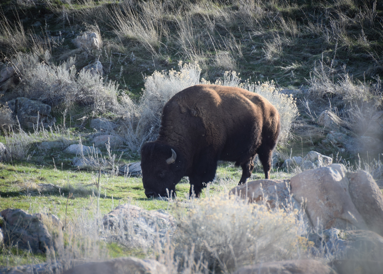 Bison, closer with big zoom.  Photo:  Dondi