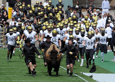 """""""Here comes Ralphie!"""" before the CU Spring game on Saturday. Cliff Grassmick / April 10, 2010"""