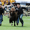 "Here comes Ralphie in Sports Authority Field.<br /> For more photos of the CU game, go to  <a href=""http://www.dailycamera.com"">http://www.dailycamera.com</a>.<br />  Cliff Grassmick / September 17, 2011"