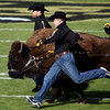 Ralphie, the University of Colorado's mascot, was brought out during the game against Kansas State at Folsom Field on Saturday. CU beat Kansas State 44-36.<br /> Saturday, Nov.  20, 2010. <br /> SAM HALL / Camera
