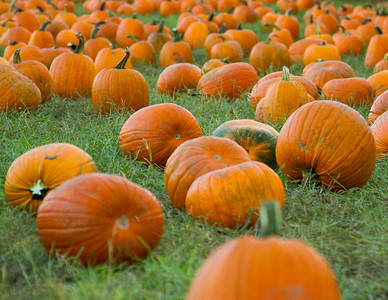 Premier Pumpkin Picking 2014-11