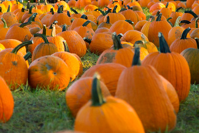 Premier Pumpkin Picking 2014-8
