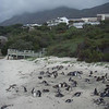 Penguin colony near Cape Town
