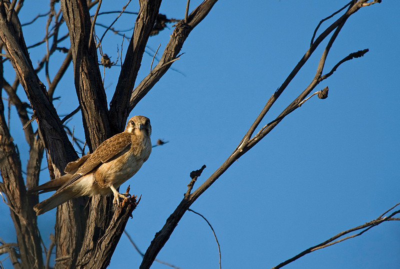 A Brown Falcon that kept watch over us for 2 days